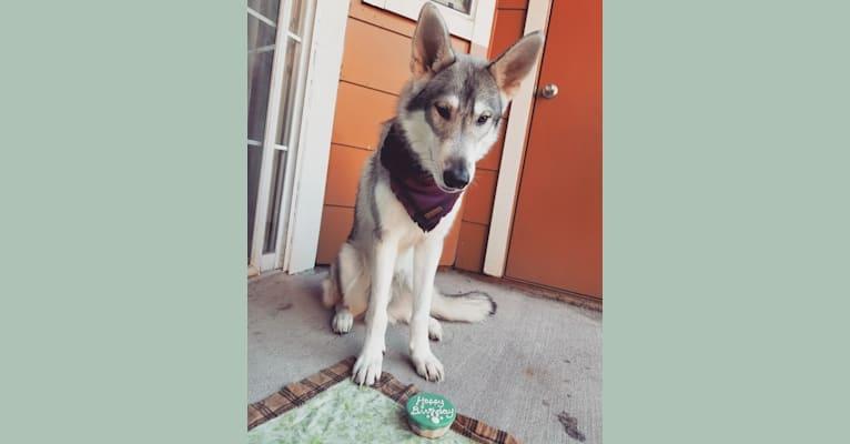 Photo of Adonis, a German Shepherd Dog, Siberian Husky, and Alaskan Malamute mix in Houston, Texas, USA
