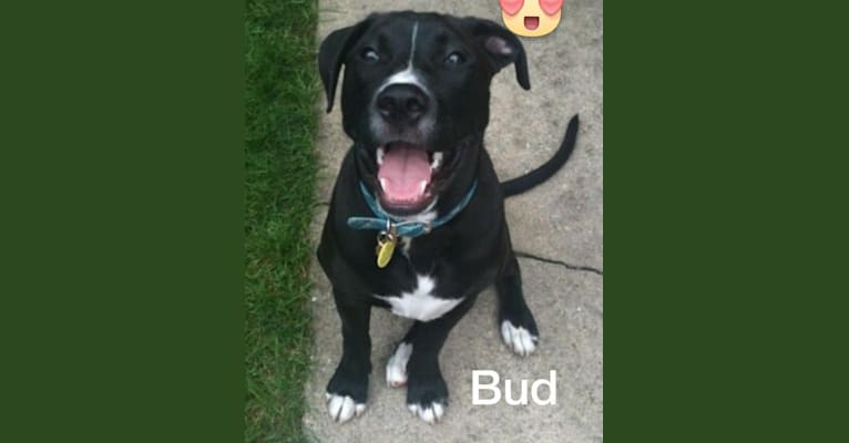 Photo of Buddy, an American Bulldog, Golden Retriever, and Rottweiler mix in Woodridge, Illinois, USA