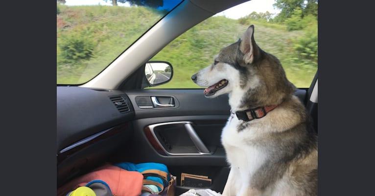 Photo of Mica, a Siberian Husky, Beagle, and German Shepherd Dog mix in Asheville, North Carolina, USA