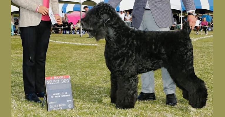 Photo of Michael, a Black Russian Terrier