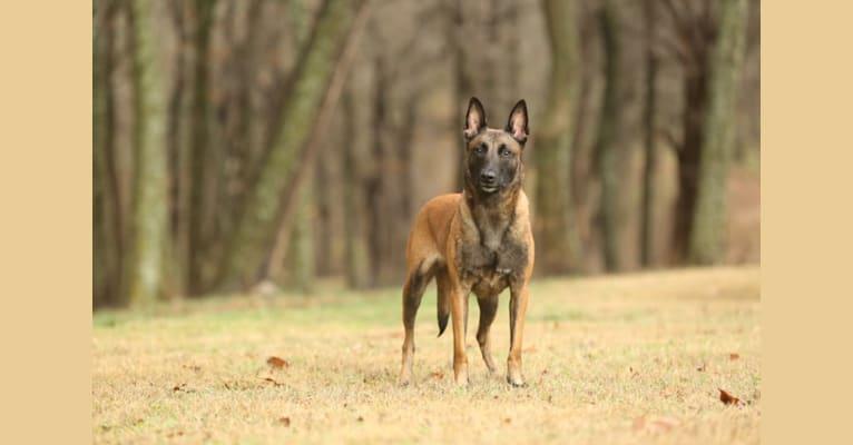 Photo of Kensi, a Belgian Shepherd  in Clarksville, TX, USA