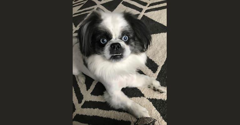 Photo of Poe, a Pekingese, Pomeranian, Maltese, and Mixed mix in Toledo, Ohio, USA