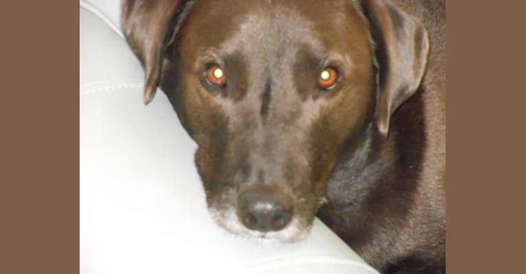 Photo of Ben-Oni, a Labrador Retriever and Australian Cattle Dog mix in St. Louis, Missouri, USA