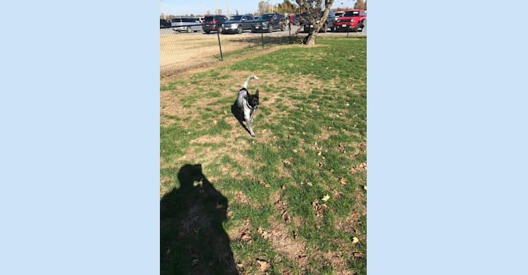Photo of Velocity, an Australian Cattle Dog, Chesapeake Bay Retriever, and Mixed mix in Missouri, USA