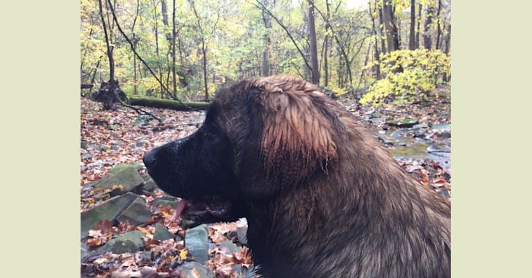 Photo of wallie, a Leonberger  in Indiana, USA