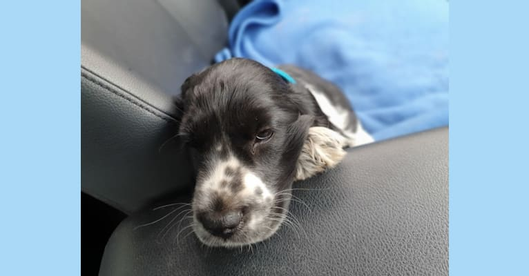 Photo of charlie, an English Cocker Spaniel  in New South Wales, Australia