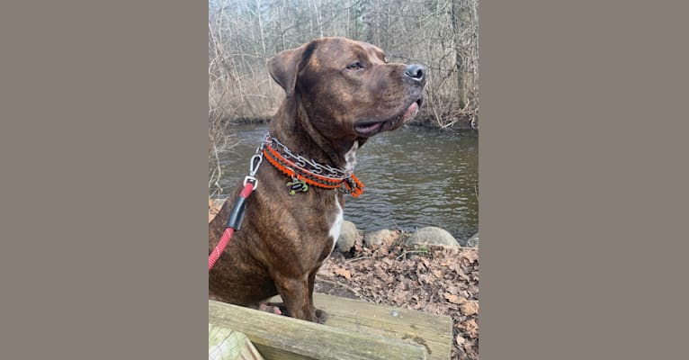 Photo of Moose, a Rottweiler and American Pit Bull Terrier mix in Richland, Michigan, USA