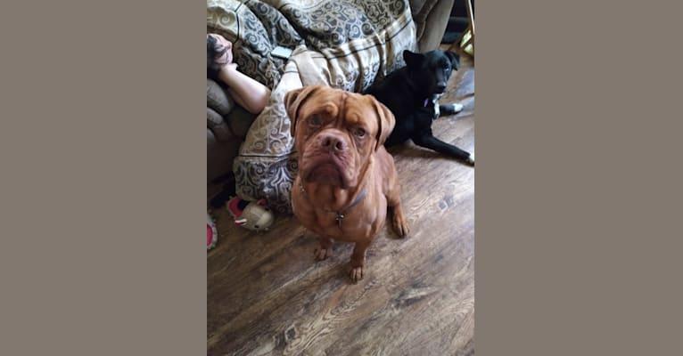 Photo of Brutus, a Dogue de Bordeaux  in Mt Gilead, Ohio, USA