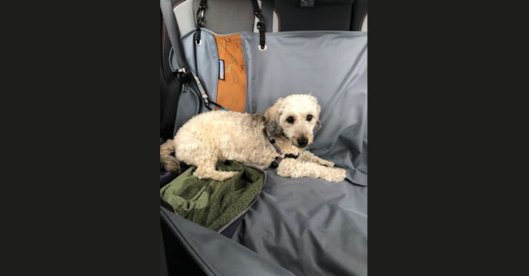 Photo of Chase, a Bichon Frise and Dachshund mix in New Jersey, USA