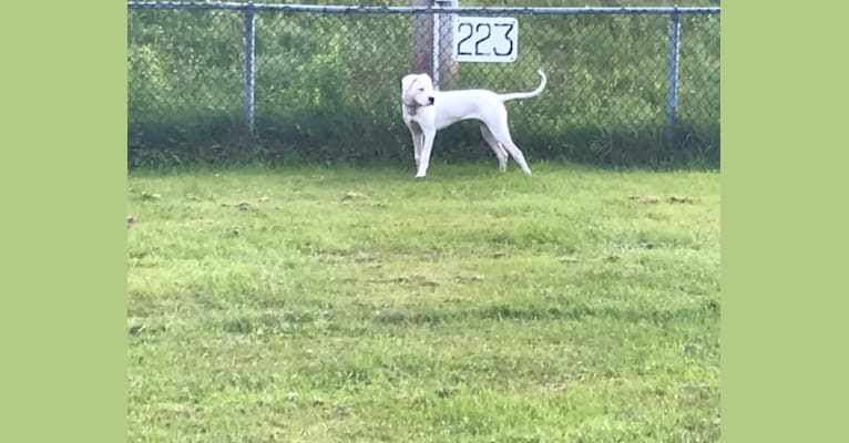 Photo of Chica, a Dogo Argentino  in Dundalk, ON, Canada