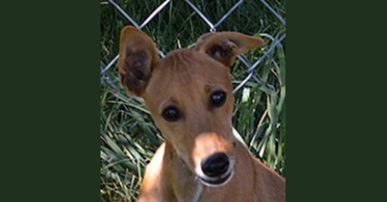 Photo of Cuz, a Whippet, Border Collie, Russell-type Terrier, and Border Terrier mix in Pahrump, NV, USA