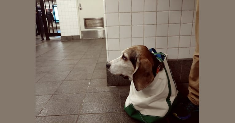 Photo of Gimli, a Basset Hound  in New York, New York, USA