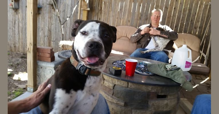 Photo of Petey, an American Pit Bull Terrier, Labrador Retriever, and American Staffordshire Terrier mix in Amarillo, Texas, USA