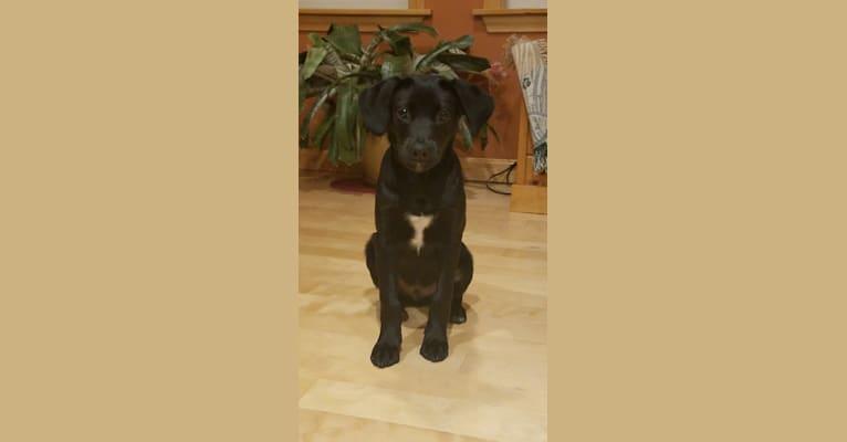 Photo of Rollo, a Labrador Retriever, Chesapeake Bay Retriever, American Eskimo Dog, Cocker Spaniel, and Mixed mix in Mississippi, USA