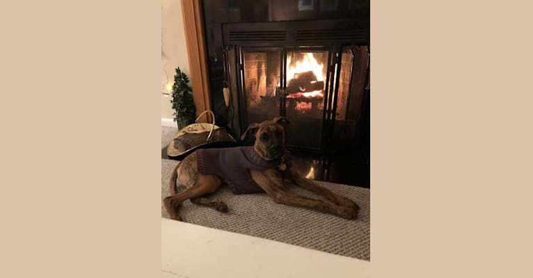 Photo of Roman, a Boxer and German Shepherd Dog mix in Tennessee, USA