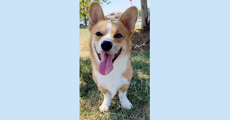Photo of Theo, a Pembroke Welsh Corgi and Australian Shepherd mix in Columbia, South Carolina, USA