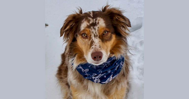 Photo of Sydney, an Australian Shepherd Group  in 5058 E State Rd, Hastings, MI, USA