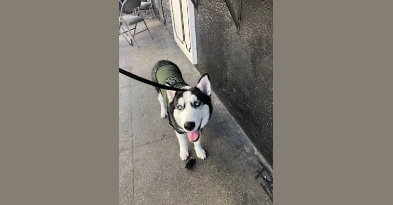 Photo of Cash, a Siberian Husky mix in Los Angeles, CA, USA