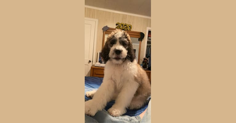 Photo of Moose, a St. Berdoodle  in Section, AL, USA