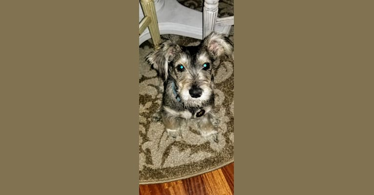 Photo of Oliver, a Miniature Schnauzer and Mixed mix in Torrance, California, USA