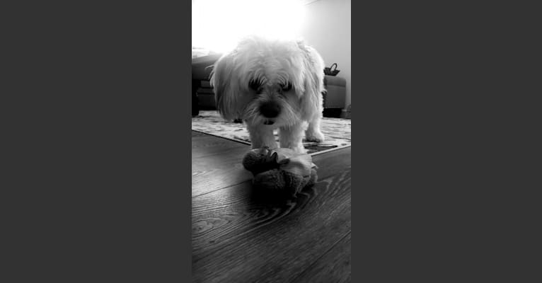 Photo of Moxie Fluff-Nugget, a Maltese, Lhasa Apso, Poodle (Small), Pekingese, and Mixed mix in Sacramento, CA, USA