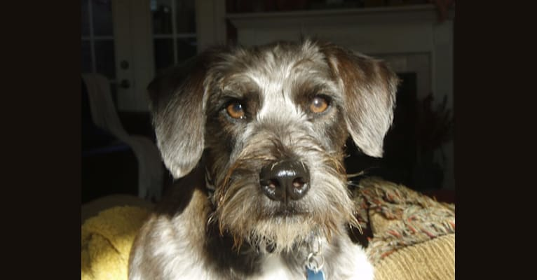 Photo of Butler, a Miniature Schnauzer and Rat Terrier mix in Yadkinville, North Carolina, USA