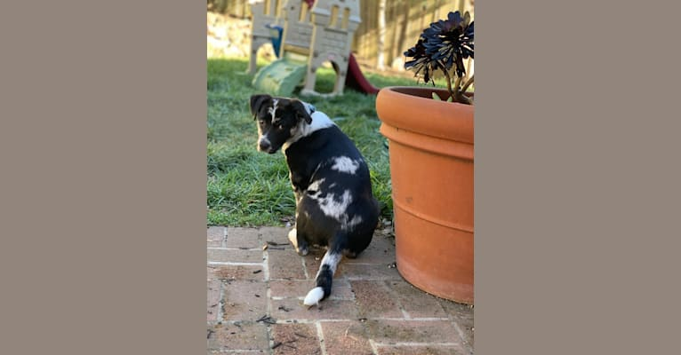 Photo of Bumblebea Arthur, an Australian Cattle Dog, American Pit Bull Terrier, Border Collie, and Mixed mix in Berkeley, California, USA