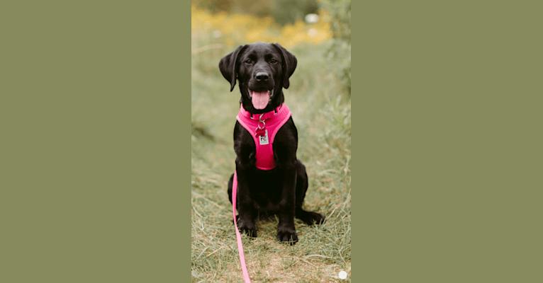 Photo of Gracie, a Labrador Retriever and American Bulldog mix in Manitoba, Canada