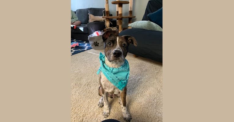 Photo of Miles, an Australian Cattle Dog, Boston Terrier, Chihuahua, and Mixed mix in Fremont, California, USA
