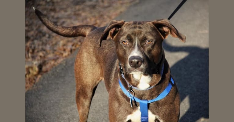 Photo of Hunter, an American Pit Bull Terrier, Labrador Retriever, and Mixed mix in Georgia, USA