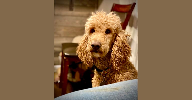 Photo of Britannia Farms Downton Abbey, a Poodle (Standard)  in Tennessee, USA
