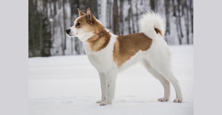Photo of Liemu, a Norrbottenspets