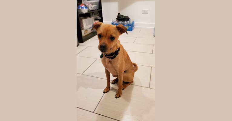 Photo of Churro, a Chihuahua, Rat Terrier, Shih Tzu, and Mixed mix in Texas, USA