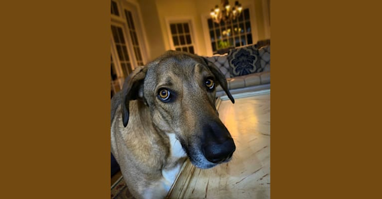Photo of Moshe-Moo, a German Shepherd Dog and Beagle mix in Tennessee, USA