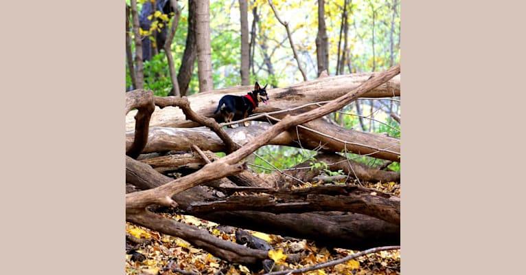 Photo of Macy, a Dachshund, Chihuahua, Rat Terrier, Miniature Pinscher, and Pembroke Welsh Corgi mix in Ann Arbor, Michigan, USA