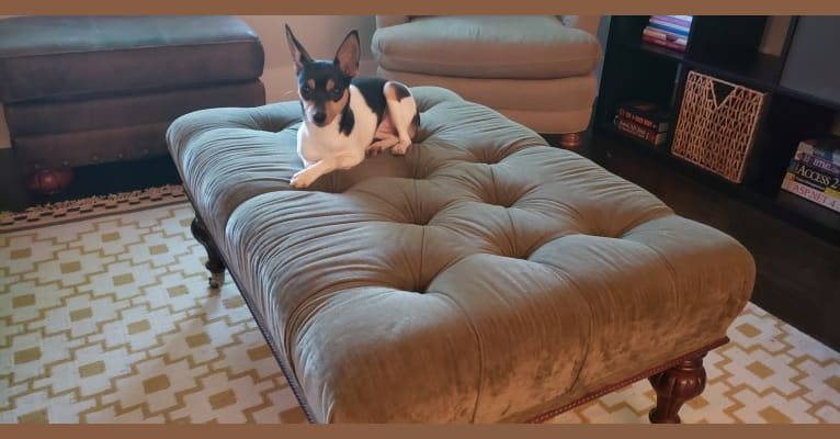 Photo of Ava, a Rat Terrier  in Greensboro, NC, USA