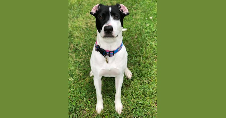 Photo of Moana, an American Pit Bull Terrier, Mountain Cur, and American Staffordshire Terrier mix in Ocean Pines, Maryland, USA