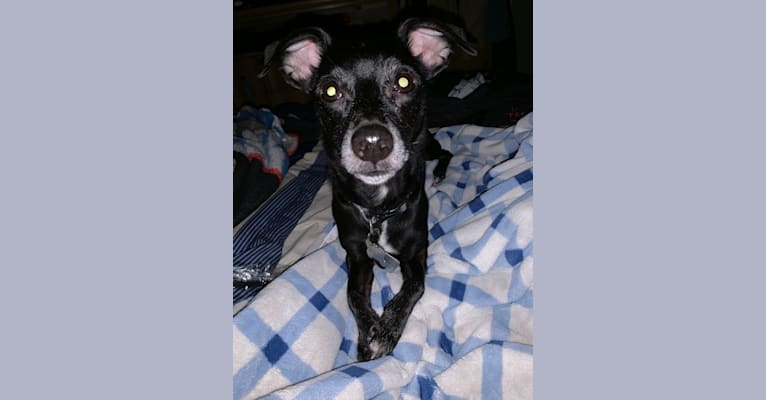 Photo of Zack, a Chihuahua, Russell-type Terrier, and Mixed mix in Boynton Beach, Florida, USA