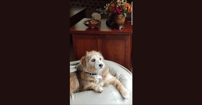 Photo of Gracie, a Beagle and Poodle (Small) mix in New Castle, PA, USA
