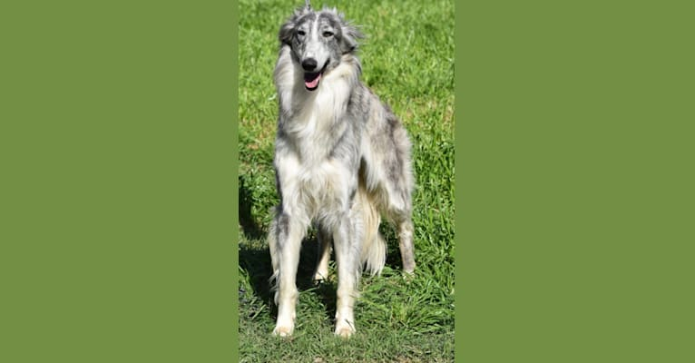 Photo of Tirza, a Silken Windhound  in Austin, Texas, USA