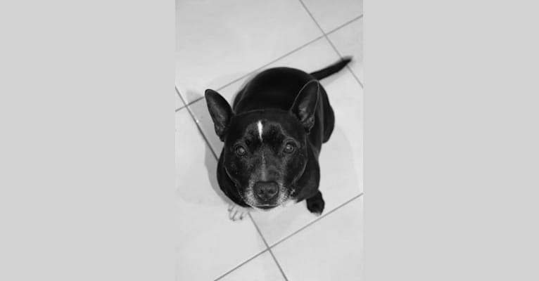 Photo of Oliver, a Staffordshire Bull Terrier  in Griffin, Queensland, Australia