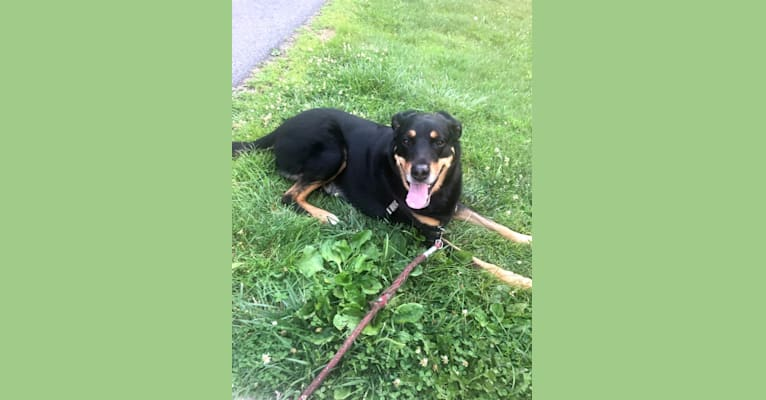 Photo of Duke, a Rottweiler, Siberian Husky, and American Pit Bull Terrier mix in Vienna, Virginia, USA
