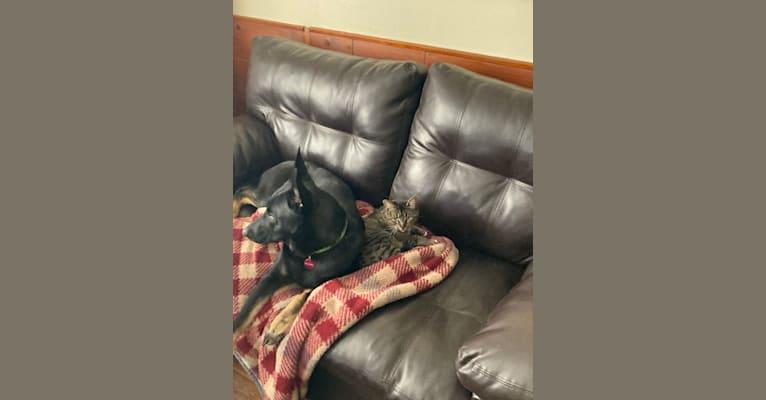 Photo of Charlee, a German Shepherd Dog and Belgian Malinois mix in Detroit, Michigan, USA