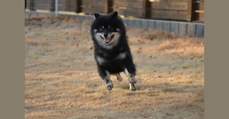 Photo of Boo, a Shiba Inu  in 日本、栃木県佐野市