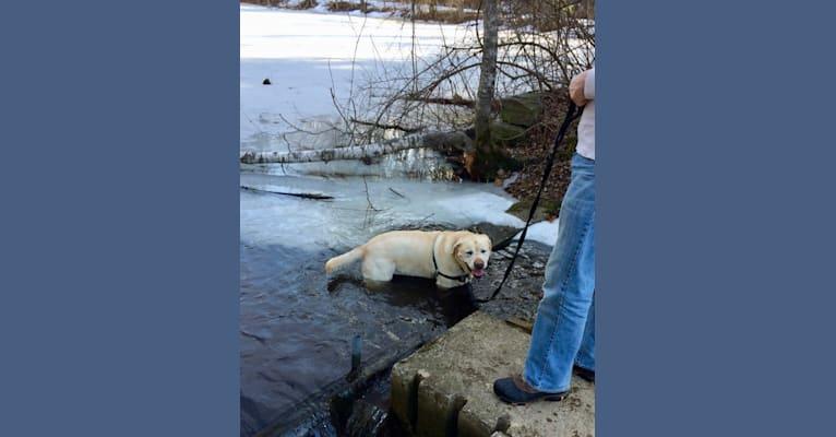 Photo of Tonka, a Labrador Retriever  in Massachusetts, USA