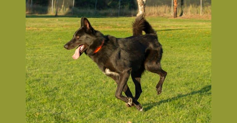 Photo of Warden, a Karelian Bear Dog, Irish Wolfhound, and Alaskan Malamute mix in New Mexico, USA