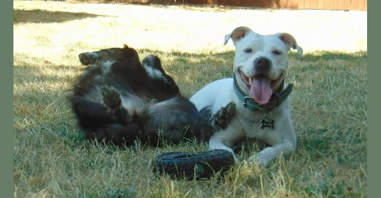 Photo of Dejah, an American Pit Bull Terrier and American Staffordshire Terrier mix in Donald, Oregon, USA