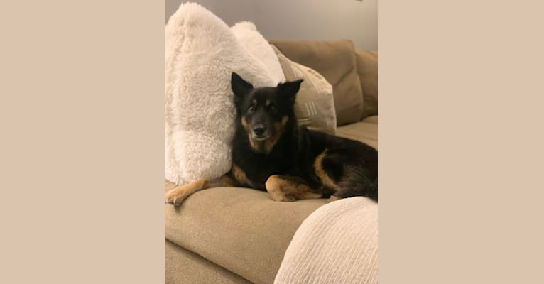 Photo of Thea, a Chow Chow, American Eskimo Dog, Dalmatian, Australian Cattle Dog, German Shepherd Dog, and Mixed mix in Indianapolis, Indiana, USA