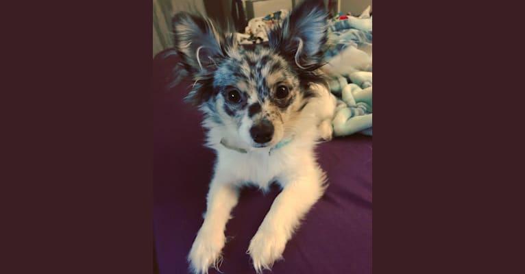 Photo of Coraline, a Chihuahua and Pomeranian mix in Tulsa, OK, USA