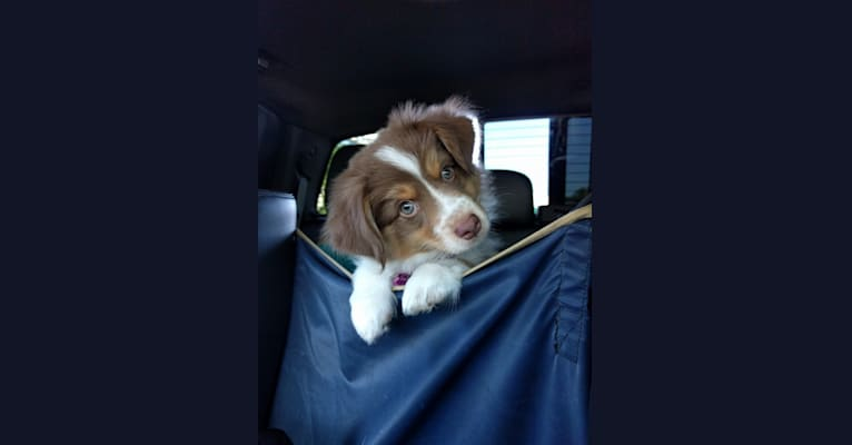 Photo of Miss Moneypenny, an Australian Shepherd Group  in Evans, CO, USA